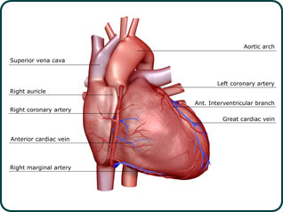 Hardening of the Arteries results in heart disease